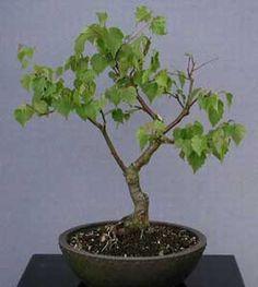 Bonsai - Abedul blanco, Abedul español