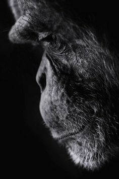 Most beautiful animals photography…somehow he almost seems human. So much emot… Most beautiful animals photography…somehow he almost seems human. So much emotion. Primates, Mammals, Nature Animals, Animals And Pets, Baby Animals, Cute Animals, Wild Animals, Most Beautiful Animals, Beautiful Creatures