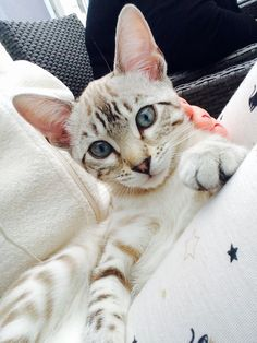 Nala a cute savanah on Yummypets.com Discover other photos. #cat #kitten #chat…
