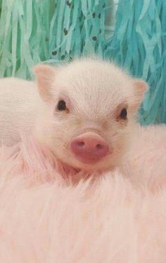 Libby and her adopted teacup pig Pearl. A girl and a teacup pig became unlikely best friends. Cute Baby Pigs, Cute Piglets, Baby Animals Super Cute, Cute Little Animals, Little Pigs, Wallpaper Fofos, Miniature Pigs, Teacup Pigs, Mini Pigs