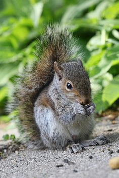 Adorable Baby Gray Squirrel Doing Some Nibbling. Cute Squirrel, Baby Squirrel, Squirrels, Animals And Pets, Baby Animals, Cute Animals, Squirrel Pictures, Animal Pictures, Tier Fotos