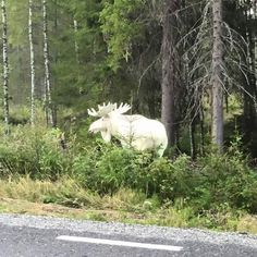 An albino moose in the forest.
