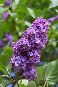 Find Pocahontas Lilac (Syringa x hyacinthiflora 'Pocahontas') in Milwaukee Brookfield Waukesha New Berlin Pewaukee Wisconsin WI at Minor's Garden Center (Hyacinth-Flowered Lilac)
