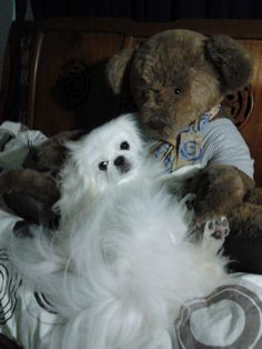 """I love my Teddy Bear!"" #Pekingese"