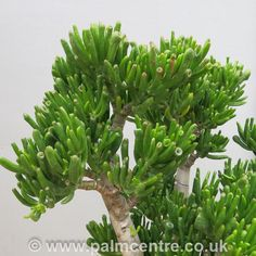 Crassula horntree aka Jade plant horntree from The Palm Centre UK. 3Ltr pot, 30/40cm tall.
