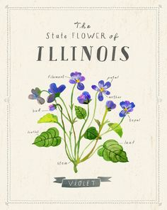 Illinois State Flower (The Violet) by Sarah Walsh