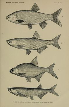 nemfrog:  Plate LVIII. Ide, bleak, bream, sichling. _Smithsonian miscellaneous collections, Vol. 48_ 1907.