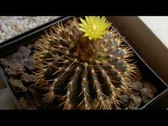Uebelmannia buiningii is a cactus with greenish to reddish brown, spherical to short cylindrical stem up to inches cm) in. Cacti And Succulents, Planting Succulents, Garden Plants, Cactus Y Suculentas, Cactus Flower, How To Dry Basil, Flora, Herbs, Fruit