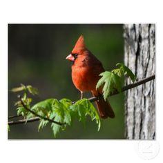 Cheerful Cardinal