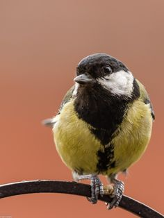A Great tit visiting one of the feeders in my backyard. Great Tit, Backyard, Birds, Nature, Patio, Naturaleza, Backyards, Bird, Nature Illustration