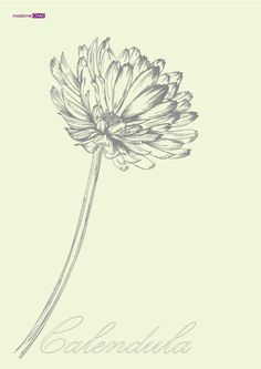 Calendula officinalis by JUNG SOO CHAE, via Behance