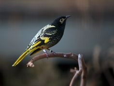 Once heard all along the eastern coast of Australia, from Brisbane to Adelaide, the soft metallic chiming call of the Regent Honeyeater (Anthochaera phrygia) is now a rare sound. http://www.zoo.org.au/melbourne/animals/regent-honeyeater