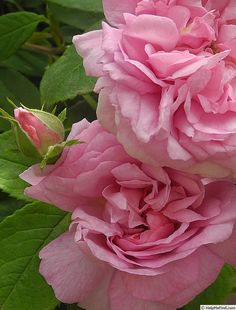 Rare BULGARIAN Rosa DAMASCENA Rooted /& Red Rose Seeds Spring Flower Home Garden