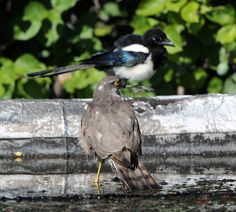 https://flic.kr/p/fjLELp | Magpie and Sparrowhawk | The magpie was one of a pair which has been hassllng the sparrowhawk as it tried to take a bath.