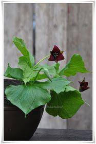 Schunsland (tuin-rozen-vintage en handwerk ): Zo mooi.....de Trillium erectum..