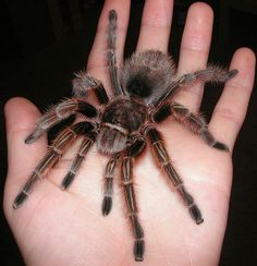 Grammostola rosea  are relatively docile, low maintenance, and inexpensive, so they are popular as pets.