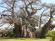 The biggest Baobab Tree in the world.(Magoebaskloof near Tzaneen) Also possible the oldest tree in the world, dating back 6000 years! And so far as I know the only tree with a bar inside - known as the Boabab Bar (via Funky Doodle Donkey) - I can add...The sound of the soundsystem is awesome inside the tree!!!!