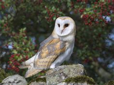 Barn Owl (Tyto Alba), on Dry Stone Wall with Hawthorn Berries in Late Summer, Captive, England Photographic Print by Steve & Ann Toon at Art.com