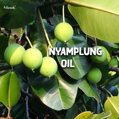 Nyamplung Oil | Packed with essential fatty acids and nutrients it has gained the reputation as a miracle oil. With regenerative and anti-inflammatory properties it helps to protect and heal your hair from all the heat and chemical treatments. Suitable for all types of hair!  . . . #nooksg #nook #nooksingapore #slesfree #parabenfree #slsfree #sulfatefree #parabenfree #nicrcotested #delicateformula #luxuryhaircare #magicarganoil #nyamplungoil #nyamplung #fattyacid #nutrients #miracleoil… Essential Fatty Acids, Hair Health, Argan Oil, Nook, Your Hair, Hair Care, Delicate, Healing, Nooks