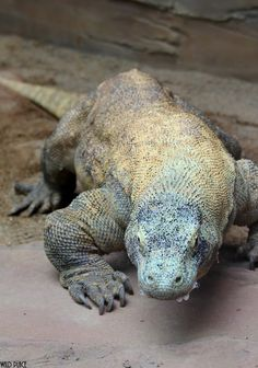 what: see a komodo dragon where: Indonesia completed: