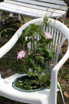 Morning glories in a pot that I placed in an unsteady chair.  I jigsawed out a circle out of the seat, and slipped the flower pot inside!  The chair becomes the trellis!