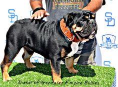 19 Best Bulldog Images Olde English Bulldogge Bulldog Breeds