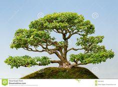 bonsai ligustrum - Pesquisa Google