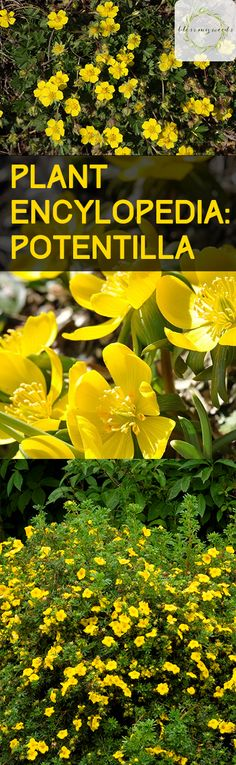 Plant Encylopedia: Potentilla - Bless My Weeds  Gardening, Gardening Hacks, How to Grow Potentilla, Growing Flowers, How to Grow Flowers, Gardening 101, Popular Pin #Potentilla #Garden