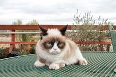 Tarder Sauce. #GrumpyCat #Cat