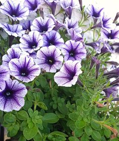Petunias repel aphids, tomato hornworm, asparagus beetles, leafhoppers, and squash bugs. Outdoor Plants, Garden Plants, Flowering Plants, Container Plants, Container Gardening, Organic Gardening, Gardening Tips, Gardening Services, Plants That Repel Bugs