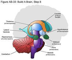 Fig Build A Brain, Step 8 - A mentéseim - Gross Anatomy, Brain Anatomy, Human Anatomy And Physiology, Medical Anatomy, Anatomy Study, Body Anatomy, Basal Ganglia, Huntington Disease, Limbic System