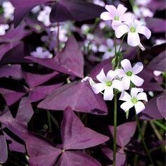 Backyard Garden Landscape, Garden Landscape Design, Clover Plant, Shamrock Plant, Purple Shamrock, Oxalis Triangularis, Easy To Grow Bulbs, Wood Sorrel, Flora Garden