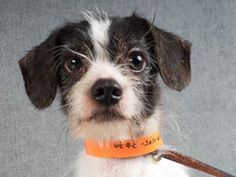 9-12-17:  Poindexter : Breed: Terrier / Mix Age: 2y 2m Gender: Male Color: Black / White Spayed/Neutered: Yes Size: Small *REQUIRES A LONGER ADOPTION PROCESS AND AN EXPERIENCED HOME*