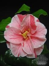 Camellia Tricolor - how to care for camellias