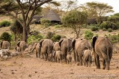 A herd of eles head past Tortilis Camp.  Image by Johan Van Eeden
