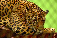Home - LED Canvas || Cheetah (40x60cm)