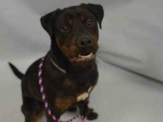 PULLED BY AMSTERDOG ANIMAL RESCUE - 01/15/16 - **PUPPY ALERT - OWNER DIED** - LUGO - #A1062323 - Urgent Manhattan - MALE BLACK/BR BRINDLE ROTTWEILER MIX, 9 Mos - STRAY - ONHOLDHERE, HOLD FOR OWNER DIED Reason OWNER DIED - Intake 01/05/16 Due Out 01/08/16
