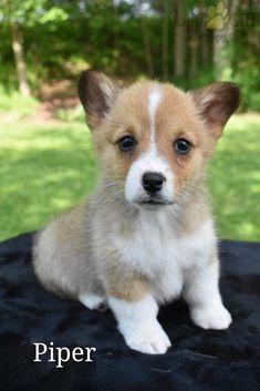 #WelshCorgi #Pembroke #Charming #PinterestPuppies #PuppiesOfPinterest #Puppy #Puppies #Pups #Pup #Funloving #Sweet #PuppyLove #Cute #Cuddly #Adorable #ForTheLoveOfADog #MansBestFriend #Animals #Dog #Pet #Pets #ChildrenFriendly #PuppyandChildren #ChildandPuppy #LancasterPuppies www.LancasterPuppies.com Puppies For Sale, Cute Puppies, Pembroke Welsh Corgi Puppies, Hugs And Cuddles, Lancaster Puppies, Animals Dog, Dundee, Mans Best Friend, Puppy Love