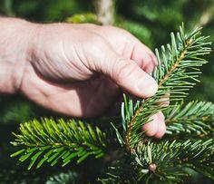 Weihnachtsbaumzweige Detailaufnahme