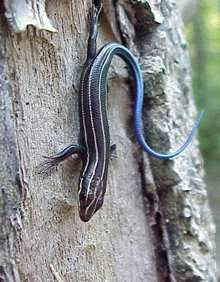 Five-lined Skink, Who would've thought theses guys are Marylands most common Lizard?