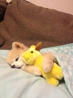 Pomeranian go sleepy