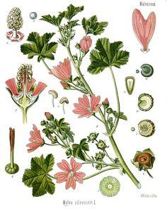Malva sylvestris - Köhler–s Medizinal-Pflanzen-222 - Malva sylvestris - Wikipedia, the free encyclopedia