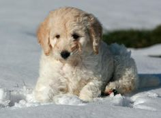 Lola the Labradoodle puppy