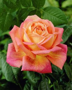 Roses Gardening Rare Orange Pink Rose Seeds Flower Bush Perennial Shrub Garden Home Exotic Home Yard Grown Party Wed Beautiful Rose Flowers, Exotic Flowers, Beautiful Gardens, Beautiful Flowers, Peace Plant, Peace Rose, Orange Roses, Orange Pink, Growing Roses