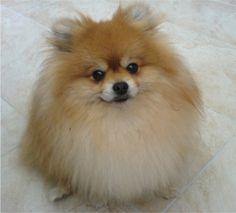 Google Image Result for http://puppydogweb.com/gallery/pomeranians/pomeranian_biza.JPG