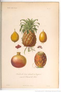 """""""Fruits de serre chaude ou tempérée sous le climat de Paris """", Le règne végétal, MM. A. Dupuis,... Fr. Gérard,... O. Réveil... [et al.]   1864-1869"""
