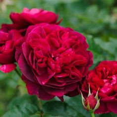 Darcey Bussell - David Austin Roses  This is available at Ritters Garden & Gift in 2016.  Go to www.4ritter.com for details.