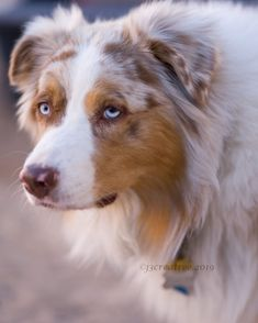Aussie Dogs, Australian Shepherd Dogs, Cut Animals, Cat Facts, Aussies, Dog Breeds, Sydney, Corgi, Pets