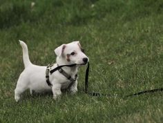 Jack Russell Terrier Category - The Dog Wallpaper | The Dog Wallpaper