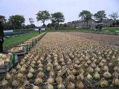 китайский способ посадки лука